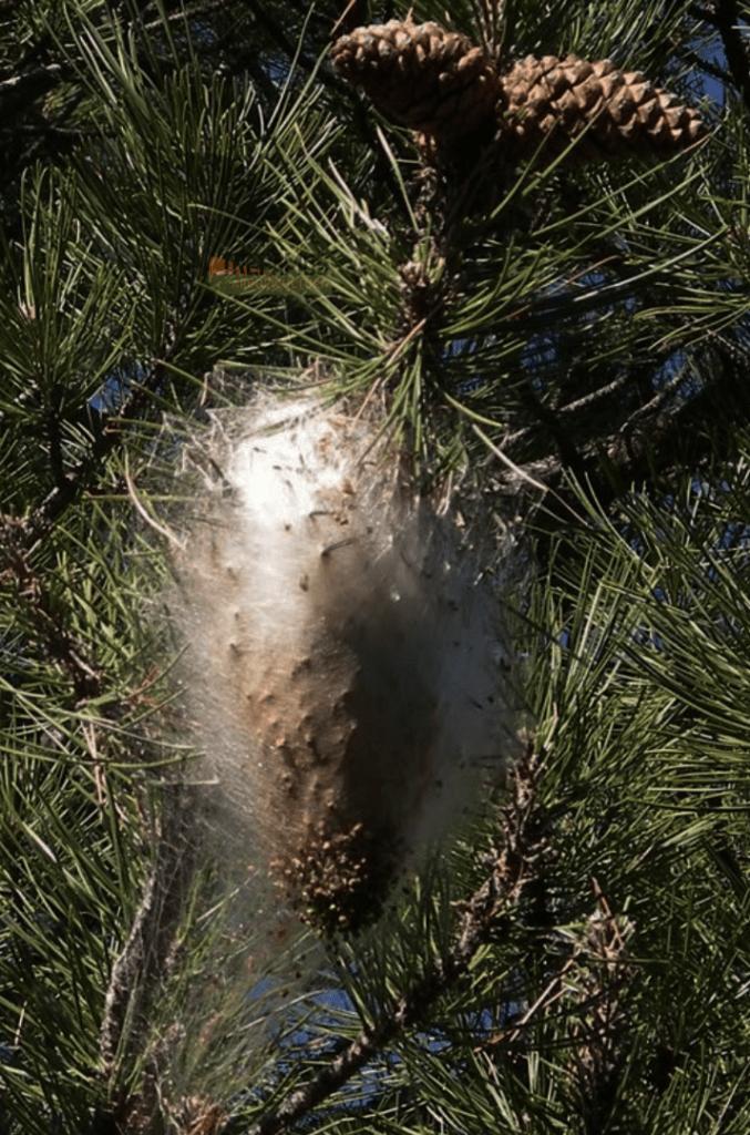 Nido de Oruga procesionaria Endoterapia arbórea