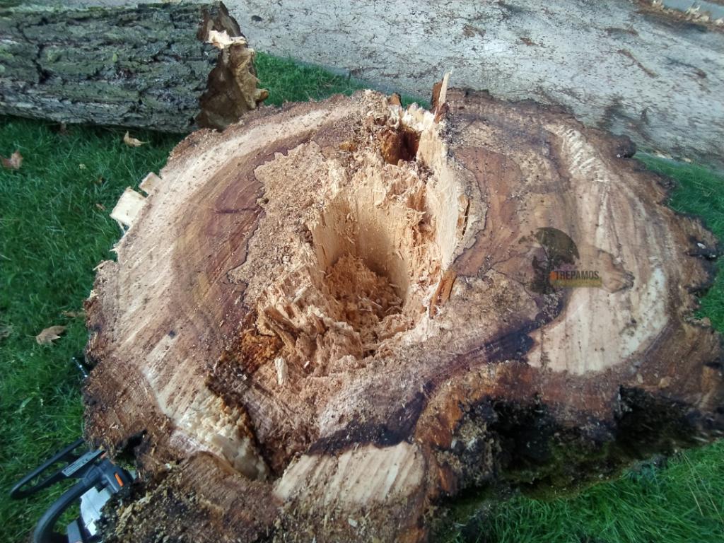 Tala de árbol por pudrición interna