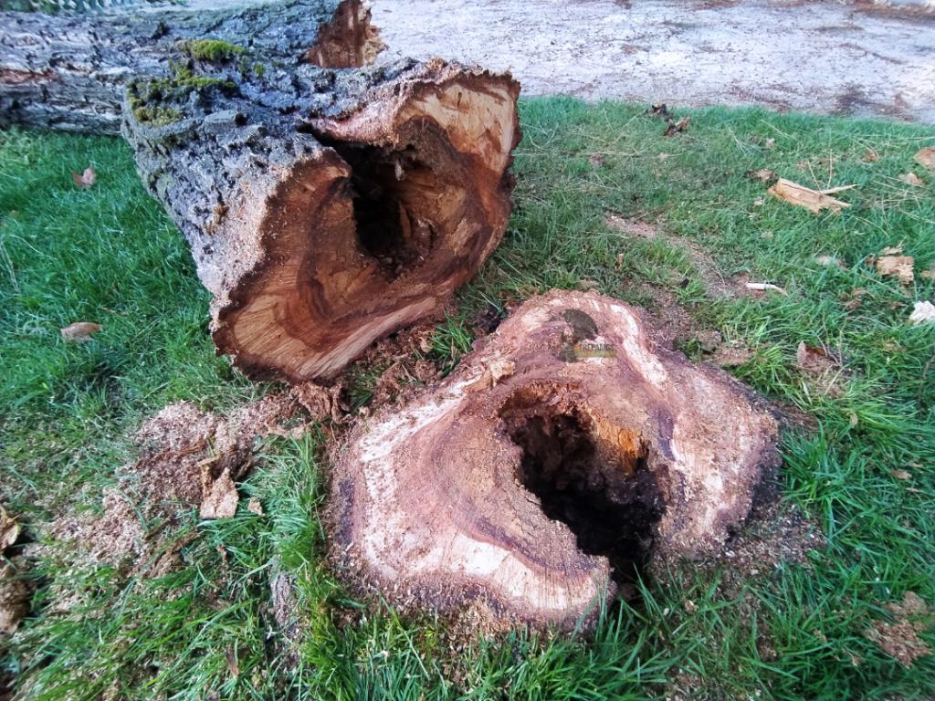 tala de árbol con interior podrido