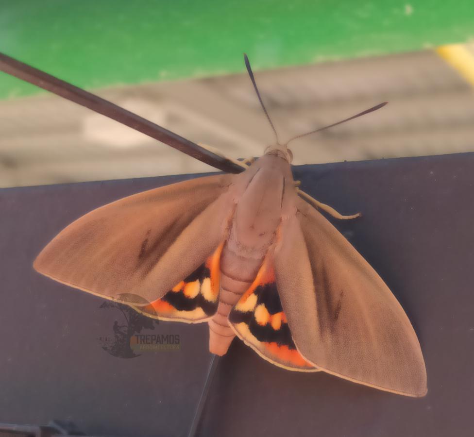Payssandisia Aechon mariposa adulta