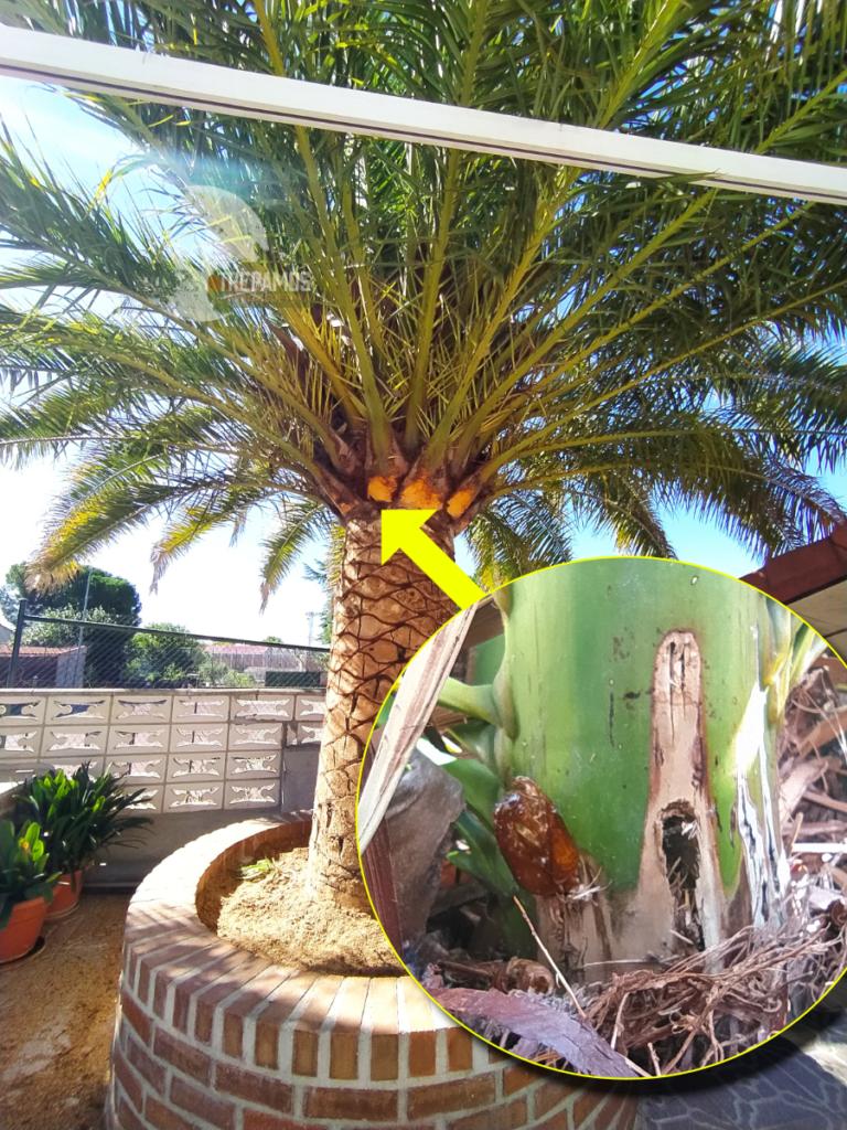 oruga barrenadora de las palmeras