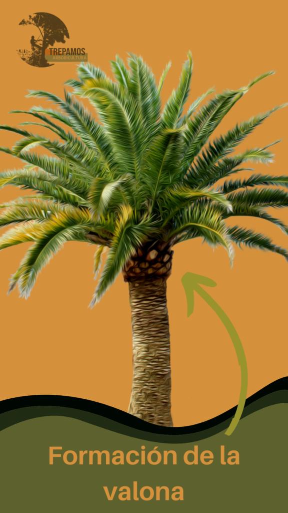 formación de la valona de la palmera