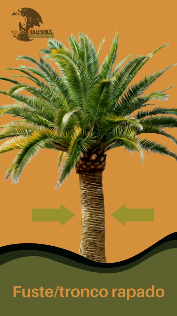 Fuste o tronco de la palmera rapado
