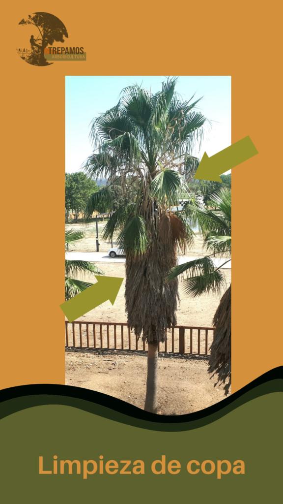 limpieza copa de palmera